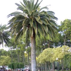 Palmera canaria (Phoenix canariensis). Parque Grande