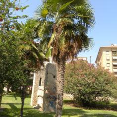 Palmito elevado (Trachicarpus fortuney). Parque Bruil