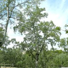 Álamo (Populus alba). Parque Grande