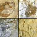 04 Fosiles de la Facies Urgon