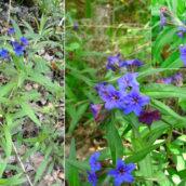 Lithospermum (Buglossoides) purpuracaeruleum