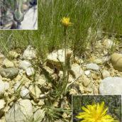 Scorzonera hispanica crispatula