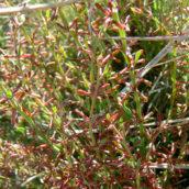 Thymelaea pubescens