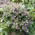 Geranium sylvaticum sylvaticum