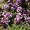 Thymus praecox polytrichus