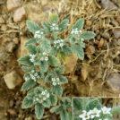 Heliotropium supinum. Charca de El Raso.