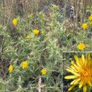 Scolymus hispanicus. Alrededores de la charca de El Raso