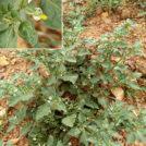 Solanum nigrum. Alrededores de la charca de El Raso.