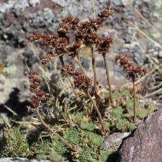 Sempervivum montanum montanum