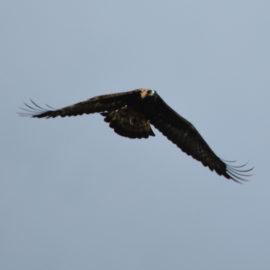 Una muerte anunciada: un aerogenerador acaba con la vida de un águila real